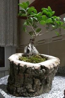 Ahşap kütük içerisinde ginseng bonsai  Kastamonu internetten çiçek siparişi