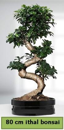 80 cm özel saksıda bonsai bitkisi  Kastamonu çiçekçi telefonları