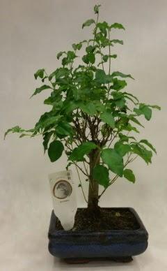 Minyatür bonsai japon ağacı satışı  Kastamonu çiçekçi telefonları