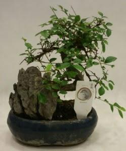 İthal 1.ci kalite bonsai japon ağacı  Kastamonu çiçek satışı