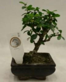 Küçük minyatür bonsai japon ağacı  Kastamonu çiçek gönderme