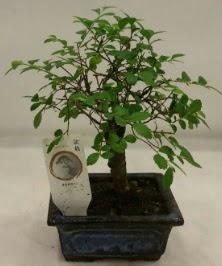 Minyatür ithal japon ağacı bonsai bitkisi  Kastamonu çiçek satışı