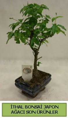 İthal bonsai japon ağacı bitkisi  Kastamonu hediye sevgilime hediye çiçek