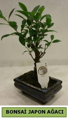 Bonsai japon ağacı saksı bitkisi  Kastamonu çiçek servisi , çiçekçi adresleri