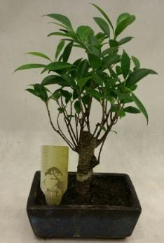 Japon ağacı bonsai bitkisi satışı  Kastamonu çiçekçi telefonları