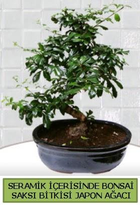 Seramik vazoda bonsai japon ağacı bitkisi  Kastamonu çiçek siparişi sitesi