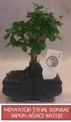 Küçük görsel bonsai japon ağacı bitkisi  Kastamonu çiçek , çiçekçi , çiçekçilik