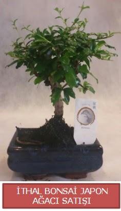 İthal küçük boy minyatür bonsai ağaç bitkisi  Kastamonu çiçekçi telefonları