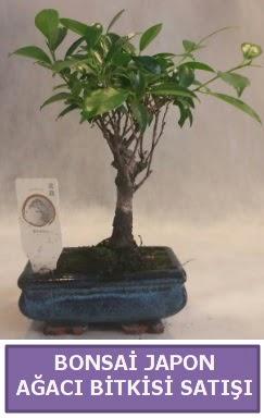 İthal Bonsai japon ağacı bitkisi satışı  Kastamonu İnternetten çiçek siparişi