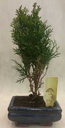 SINIRLI SAYIDA ÜRÜN Selvi Bonsai  Kastamonu İnternetten çiçek siparişi