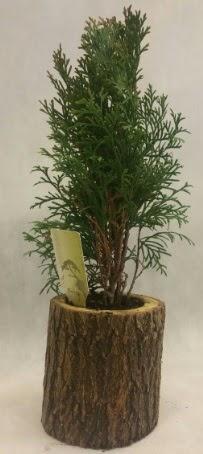 SINIRLI STOK Selvi Bonsai Doğal kütükte  Kastamonu İnternetten çiçek siparişi