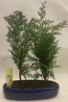 SINIRLI SAYIDA Selvi Ağacı bonsai ikili  Kastamonu çiçekçi telefonları