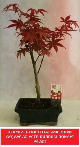 İTHAL ACER RUBRUM BONSAİ AĞACI  Kastamonu çiçek gönderme sitemiz güvenlidir