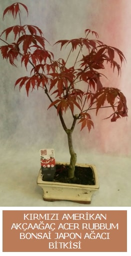 Amerikan akçaağaç Acer Rubrum bonsai  Kastamonu uluslararası çiçek gönderme