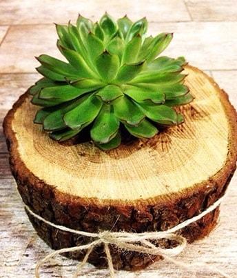 Doğal kütük içerisinde sukulent kaktüs  Kastamonu çiçek satışı