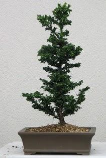 Çam ağacı bonsai bitkisi satışı  Kastamonu çiçekçi telefonları