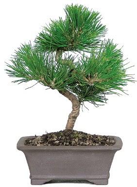 Çam ağacı bonsai japon ağacı bitkisi  Kastamonu çiçek gönderme
