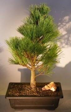 Çam ağacı japon ağacı bitkisi bonsai  Kastamonu çiçekçi telefonları