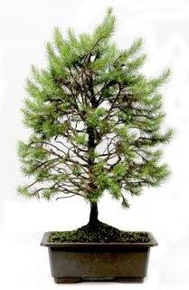 *** STOKTA YOK - Çam ağacı bonsai bitkisi satışı  Kastamonu cicekciler , cicek siparisi