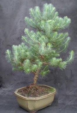 Bonsai çam ağacı japon ağacı bitkisi  Kastamonu çiçek gönderme sitemiz güvenlidir