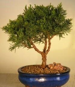 Servi çam bonsai japon ağacı bitkisi  Kastamonu çiçek yolla
