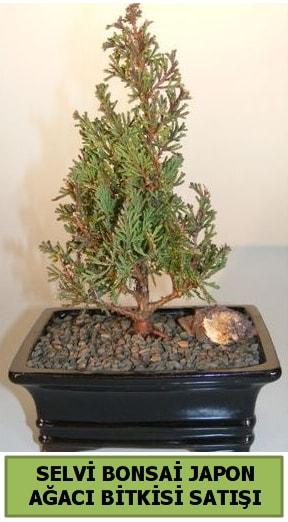 Selvi çam japon ağacı bitkisi bonsai  Kastamonu çiçekçi telefonları