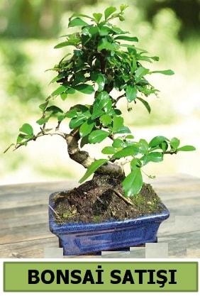 Çam bonsai japon ağacı satışı  Kastamonu çiçek satışı