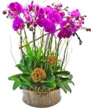 Ahşap kütükte lila mor orkide 8 li  Kastamonu internetten çiçek satışı