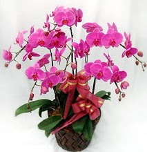 Sepet içerisinde 5 dallı lila orkide  Kastamonu ucuz çiçek gönder