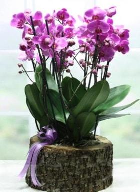 Kütük içerisinde 6 dallı mor orkide  Kastamonu ucuz çiçek gönder