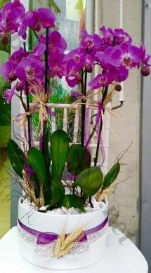 Seramik vazoda 4 dallı mor lila orkide  Kastamonu online çiçek gönderme sipariş