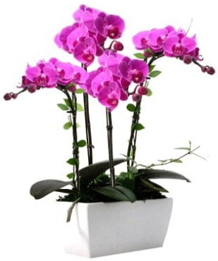 Seramik vazo içerisinde 4 dallı mor orkide  Kastamonu çiçek satışı
