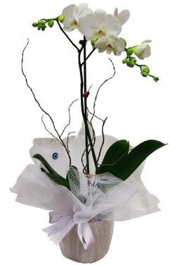 Tek dallı beyaz orkide  Kastamonu cicek , cicekci