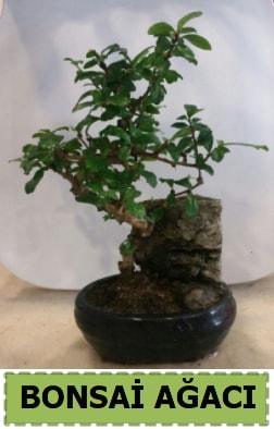 Bonsai ağacı japon ağacı satışı  Kastamonu hediye çiçek yolla