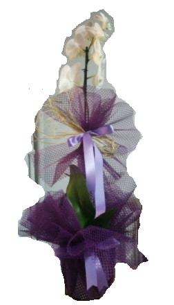 Tek dallı beyaz orkide süper kalite ithal  Kastamonu çiçek siparişi sitesi