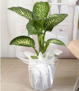 Tropik saksı çiçeği bitkisi  Kastamonu çiçek satışı