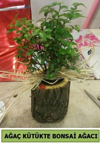 Doğal ağaç kütük içerisinde bonsai ağacı  Kastamonu çiçek gönderme sitemiz güvenlidir