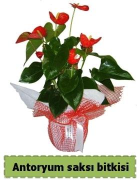 Antoryum saksı bitkisi satışı  Kastamonu çiçek , çiçekçi , çiçekçilik