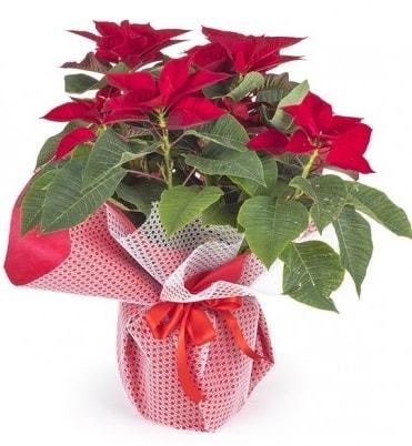 Atatürk çiçeği saksı bitkisi  Kastamonu çiçek gönderme sitemiz güvenlidir