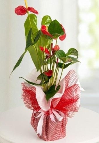 Anthurium Saksı Çiçeği  Kastamonu hediye çiçek yolla