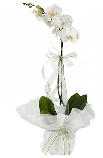 Tekli Beyaz Orkide  Kastamonu hediye çiçek yolla