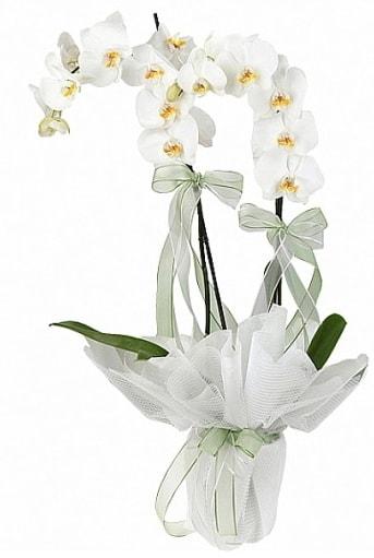 Çift Dallı Beyaz Orkide  Kastamonu anneler günü çiçek yolla