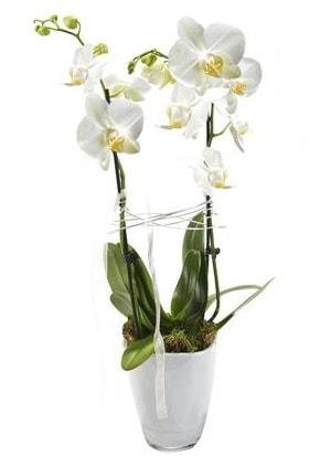 2 dallı beyaz seramik beyaz orkide saksısı  Kastamonu çiçek gönderme sitemiz güvenlidir