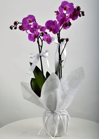 Çift dallı saksıda mor orkide çiçeği  Kastamonu çiçek siparişi vermek