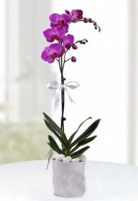Tek dallı saksıda mor orkide çiçeği  Kastamonu çiçekçiler