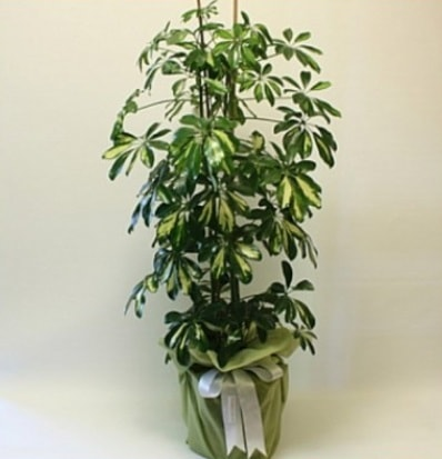 Şeflera salon bitkisi  Kastamonu çiçek gönderme