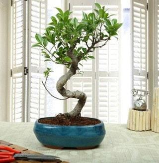 Amazing Bonsai Ficus S İthal  Kastamonu internetten çiçek siparişi