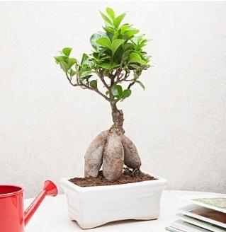 Exotic Ficus Bonsai ginseng  Kastamonu çiçek servisi , çiçekçi adresleri