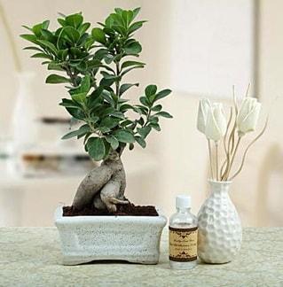Ginseng ficus bonsai  Kastamonu çiçekçiler