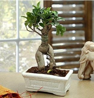 Marvellous Bonsai ginseng  Kastamonu çiçek siparişi sitesi